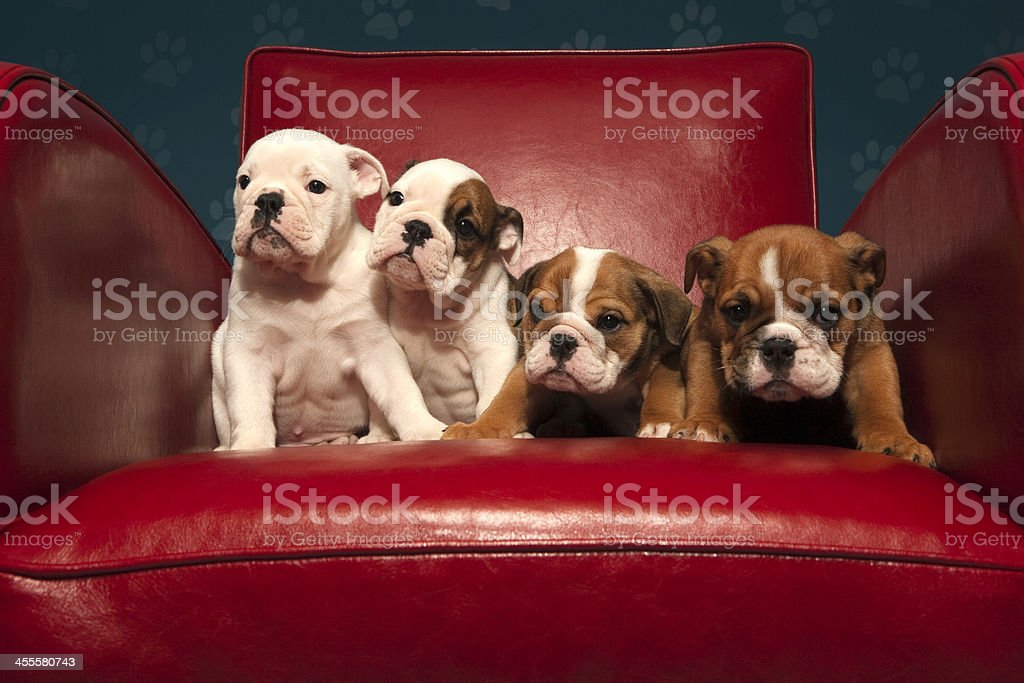 Four cheeky bulldog puppies on a red chair royalty-free stock photo