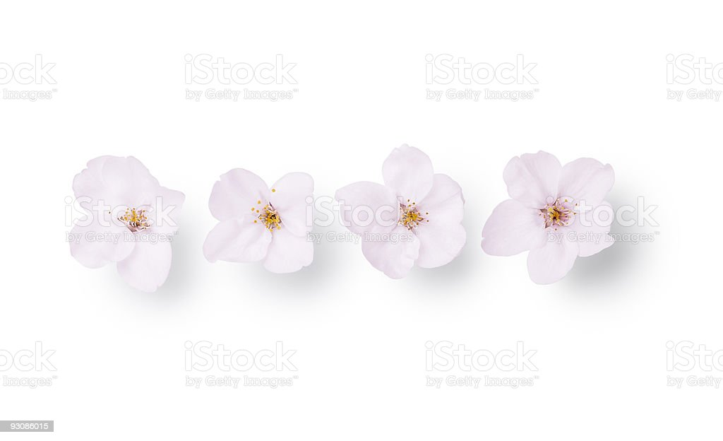 Four cherry blossoms isolated on white background stock photo