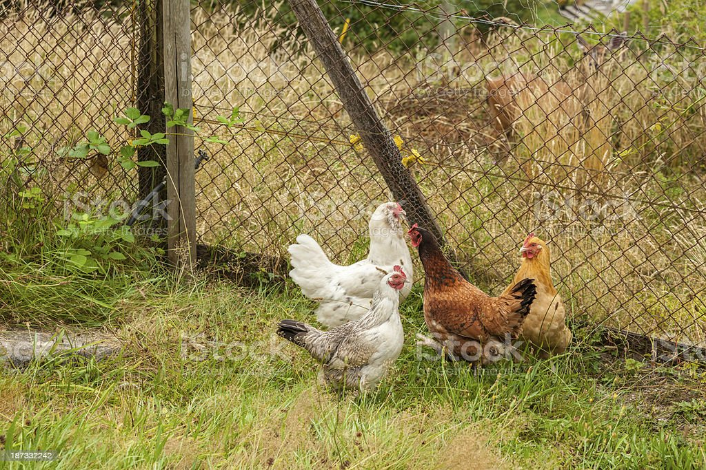 Four Chickens stock photo