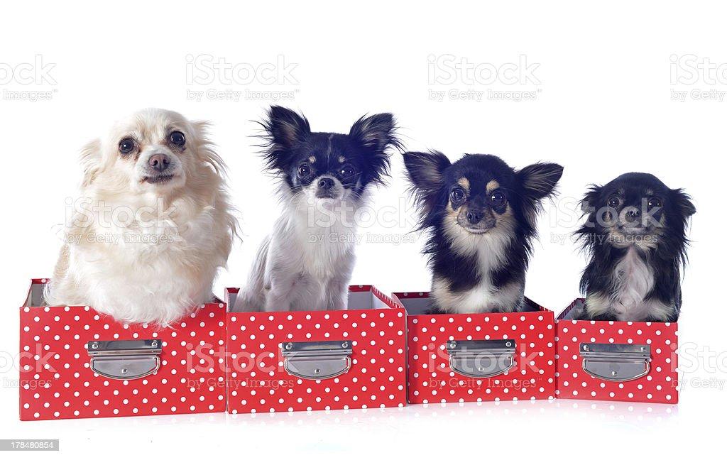 four chihuahuas royalty-free stock photo