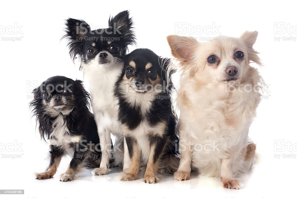 four chihuahuas stock photo