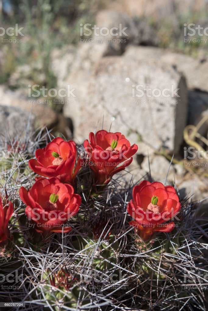 Four Claret Cup Cactus wedged in Desert Rocks stock photo