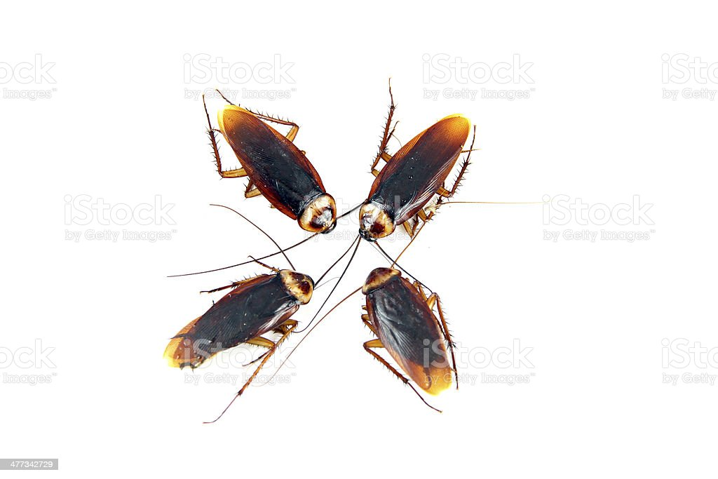 Four Cockroaches isolated. royalty-free stock photo