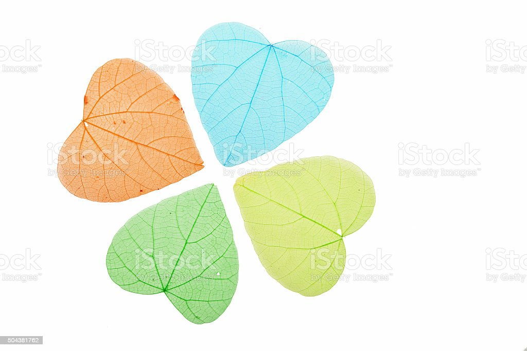 Four colored heart shaped skeleton leaves on white royalty-free stock photo