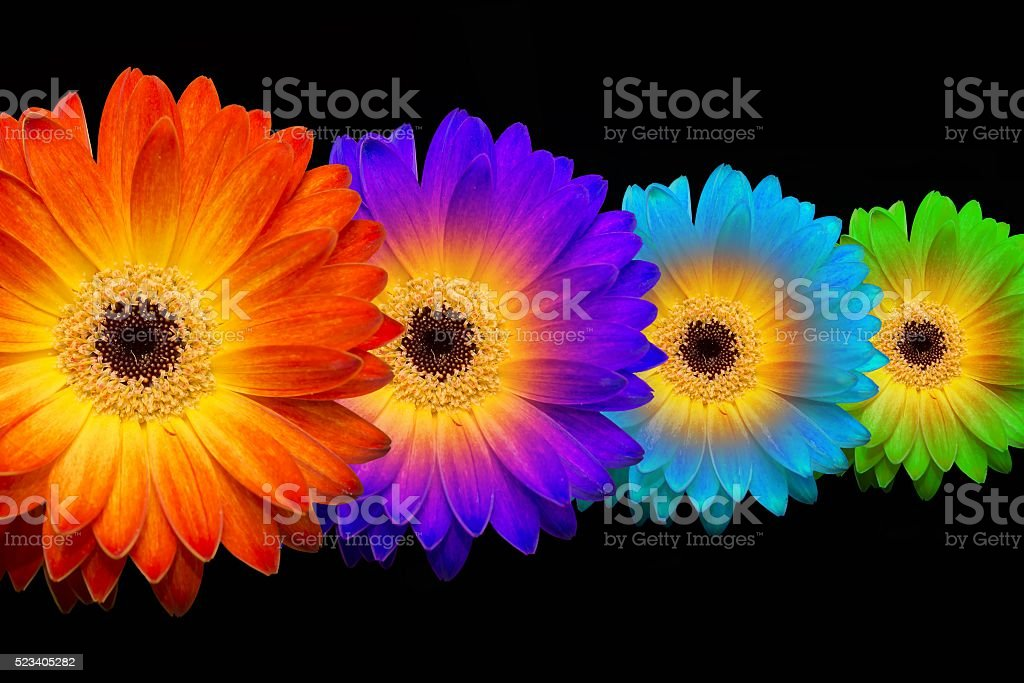 four colorful gerberas on black background stock photo