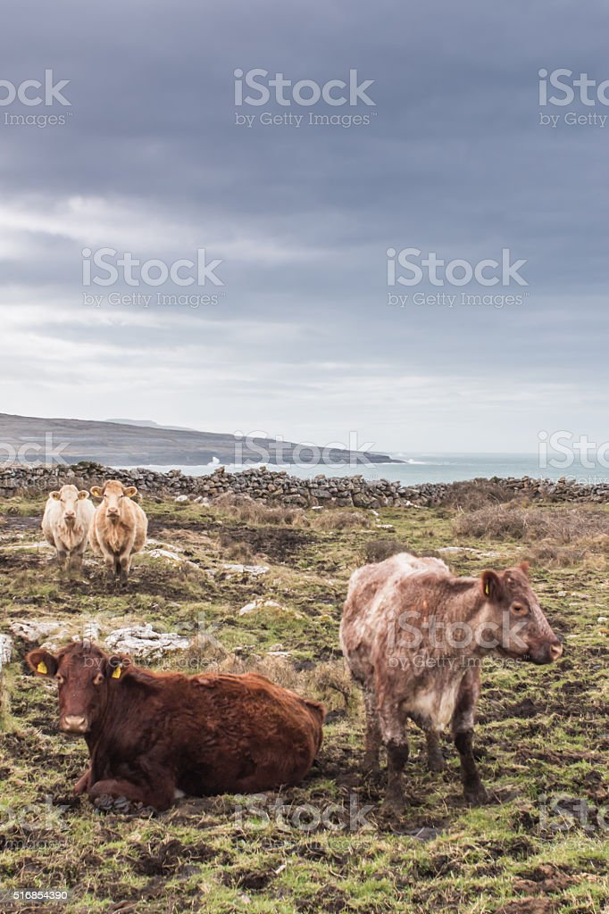Four cows in the Burren stock photo