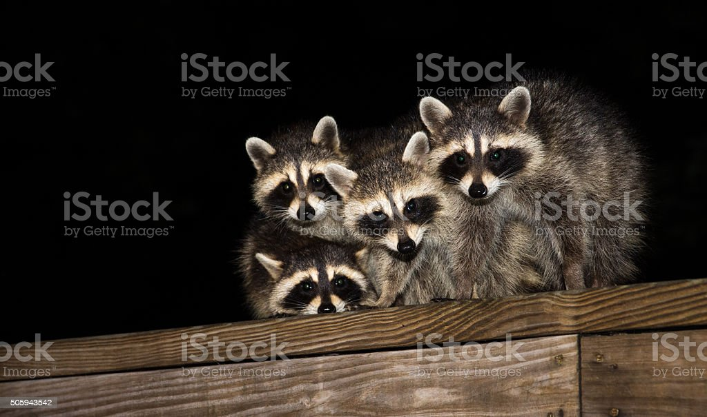 Four cute baby raccoons on a deck railing stock photo