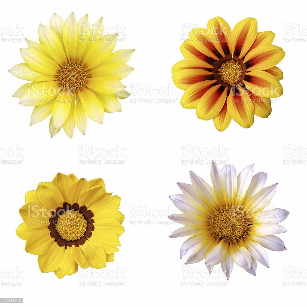 Four daisies royalty-free stock photo