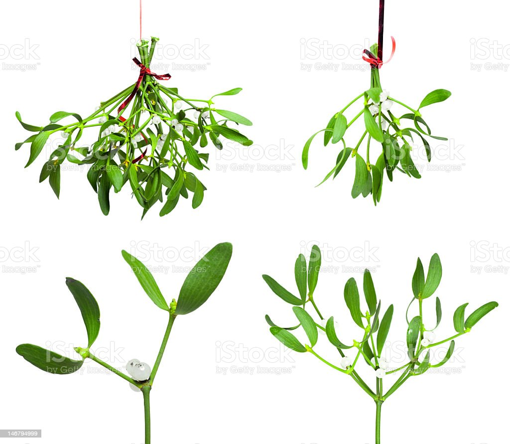 Four different stages of mistletoe stock photo