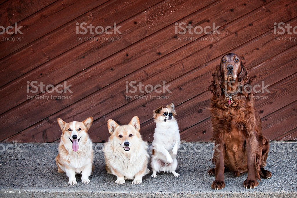 Four Dog Portrait royalty-free stock photo