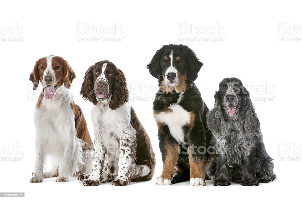 four dogs in a row stock photo
