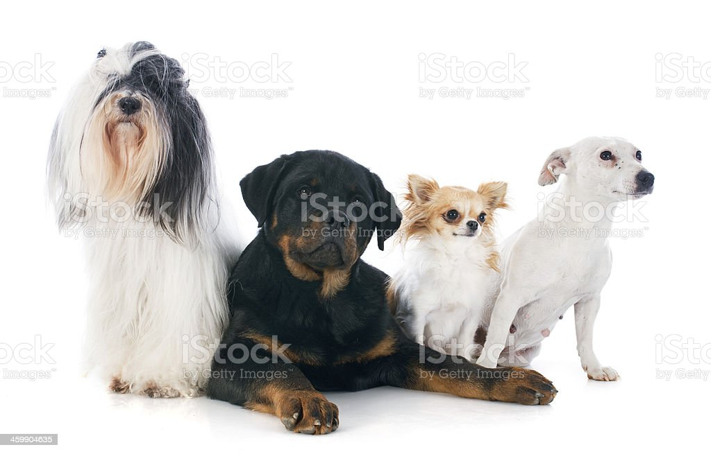 four dogs stock photo
