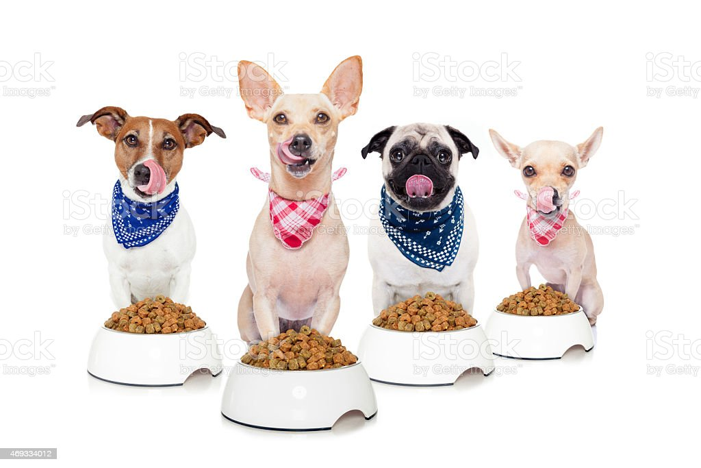 Four dogs with bandanas isolated in front of full food bowls stock photo