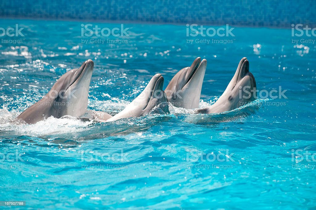 Four Dolphins dance  in a pool with blue water stock photo