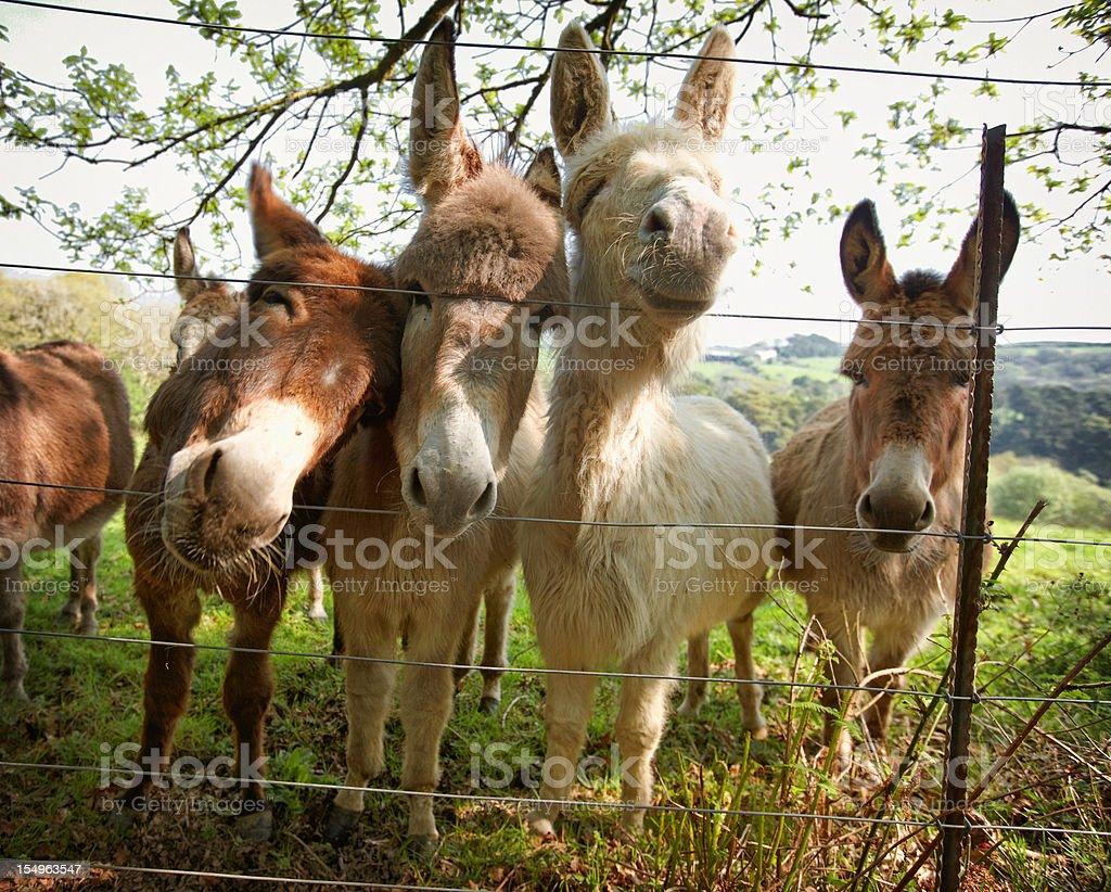 Four donkeys pushing heads through a fence stock photo