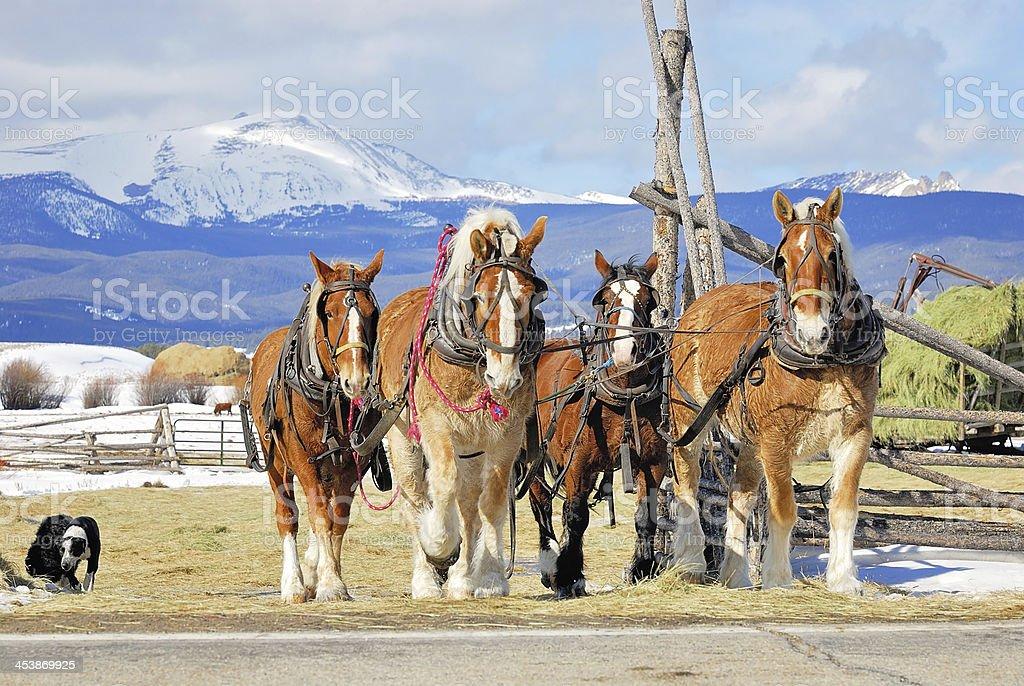 Four Draft Horses stock photo