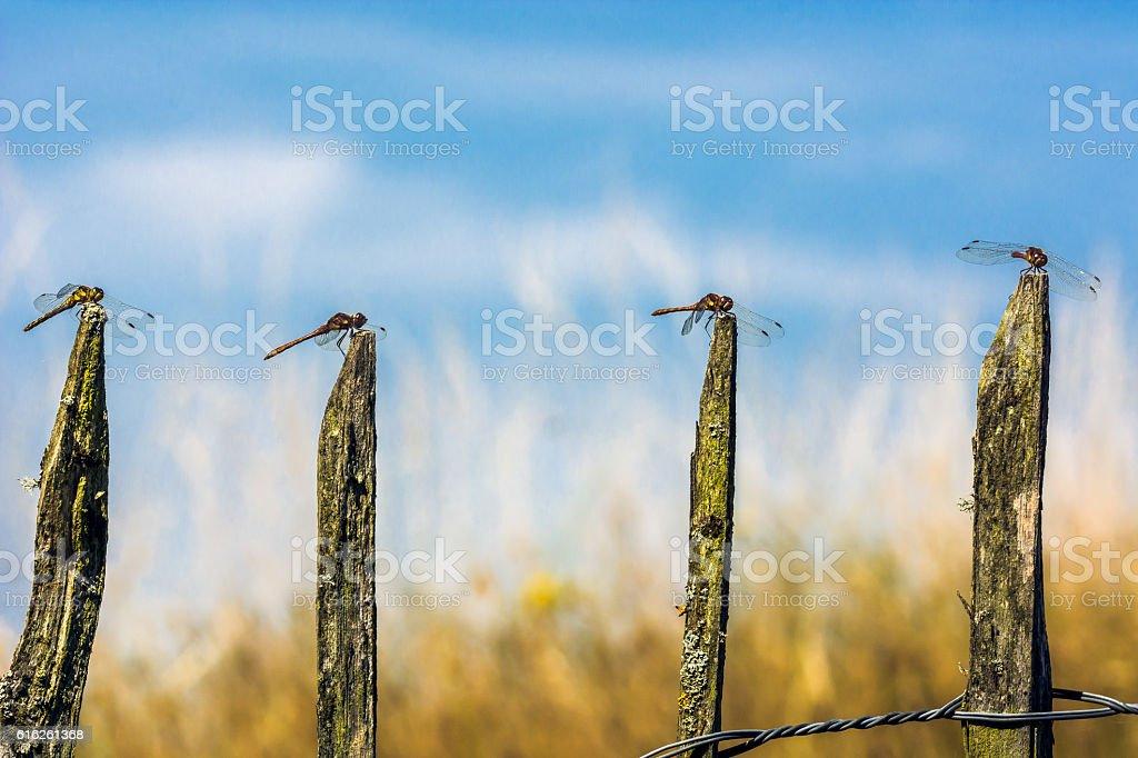 Four Dragonflies in a Line, Common Darter, Sympetrum striolatum stock photo