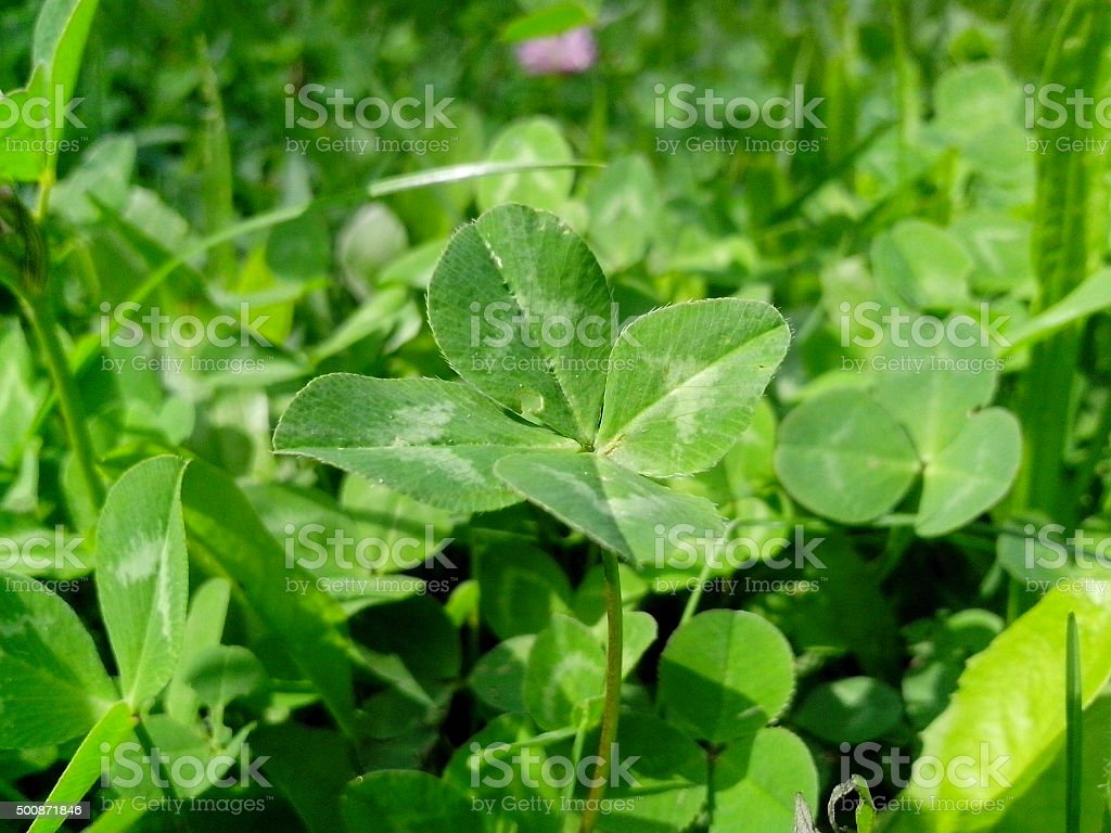 four feathered clover stock photo