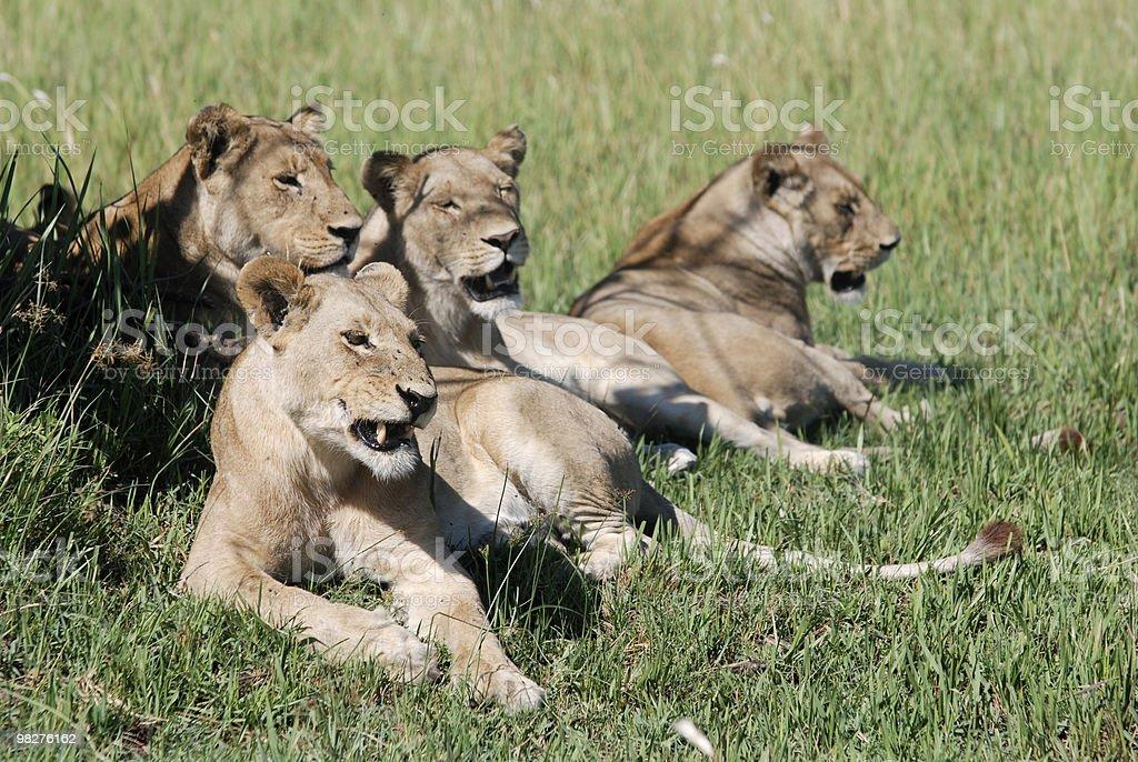four female lions stock photo