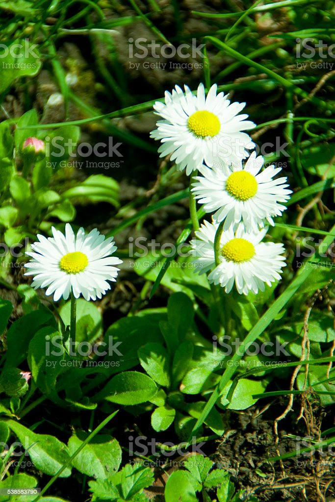 Four field of daisies on the ground stock photo