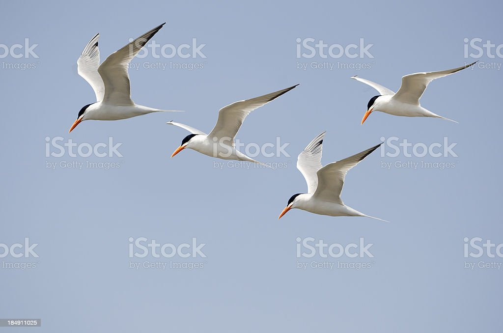Four Flying Terns Black And White Birds Against Blue Sky stock photo