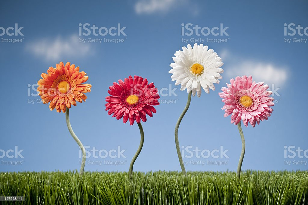 Four Gerbera Daisies Growing In The Grass royalty-free stock photo