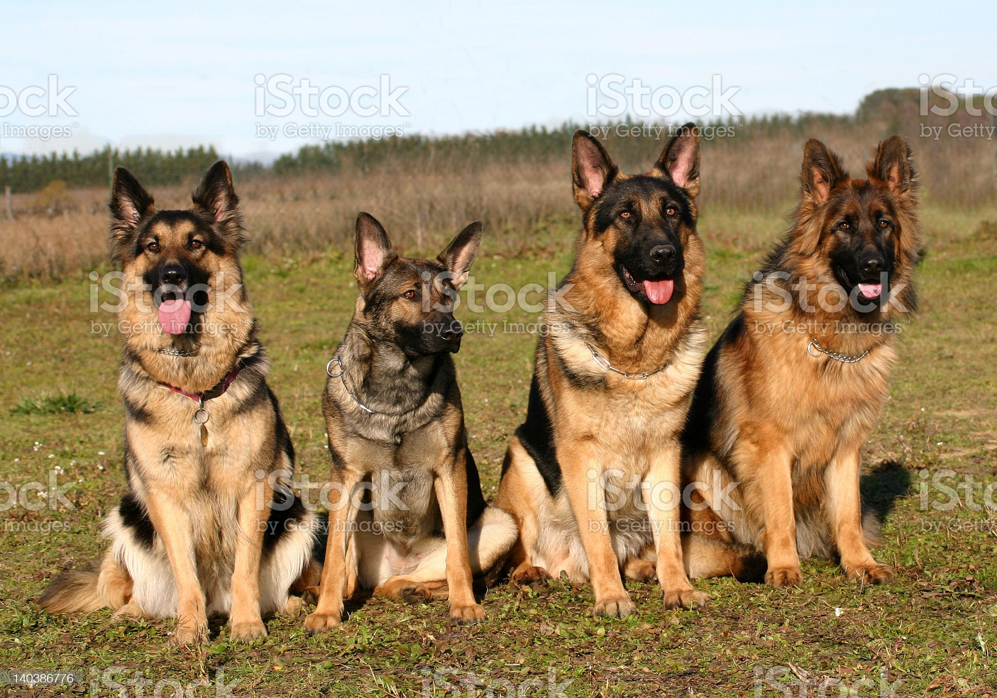 Four German Shepard dogs sitting in a field royalty-free stock photo
