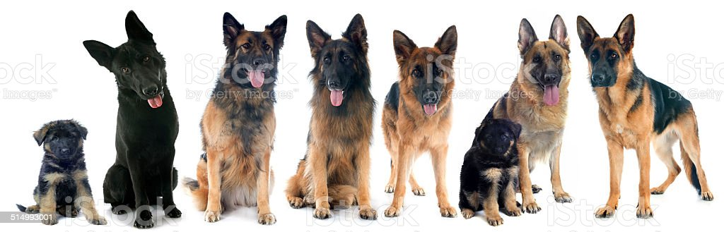 four german shepherds stock photo