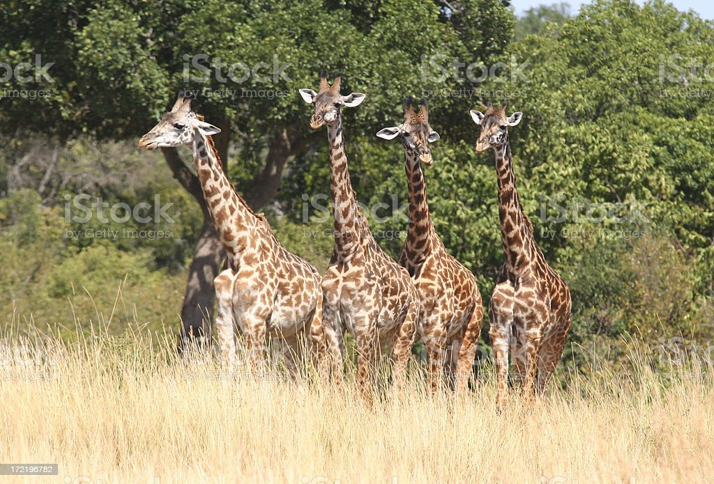 Four Giraffes in a row royalty-free stock photo