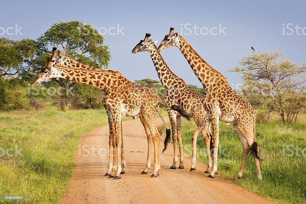 Four giraffes in Serengeti National Park, Tanzania royalty-free stock photo
