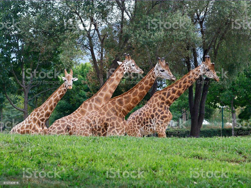 Four Giraffes stock photo