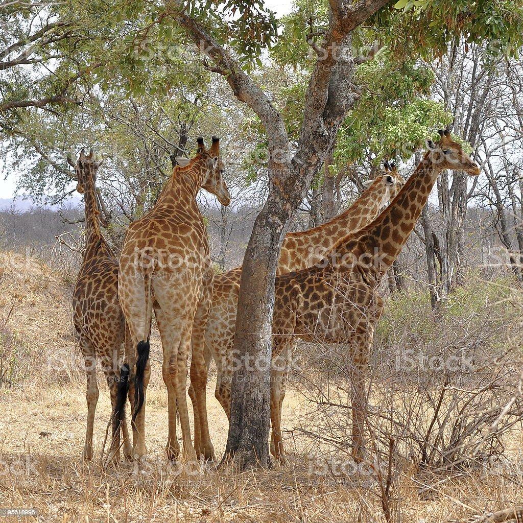 four giraffes resting under tree royalty-free stock photo