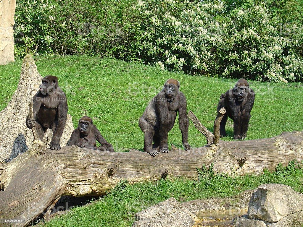 Four gorillas royalty-free stock photo