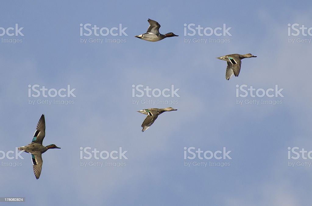 Four Green-Winged Teals Flying in a Cloudy Sky royalty-free stock photo