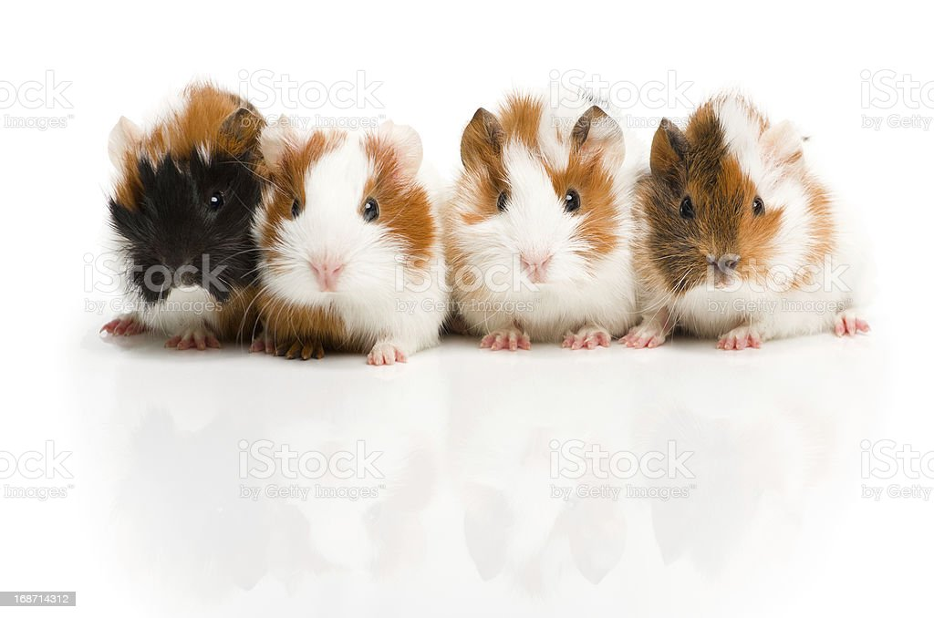 Four guinea pigs together in row stock photo