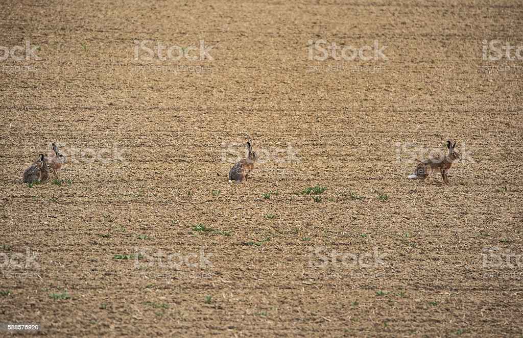 four hares on the field stock photo