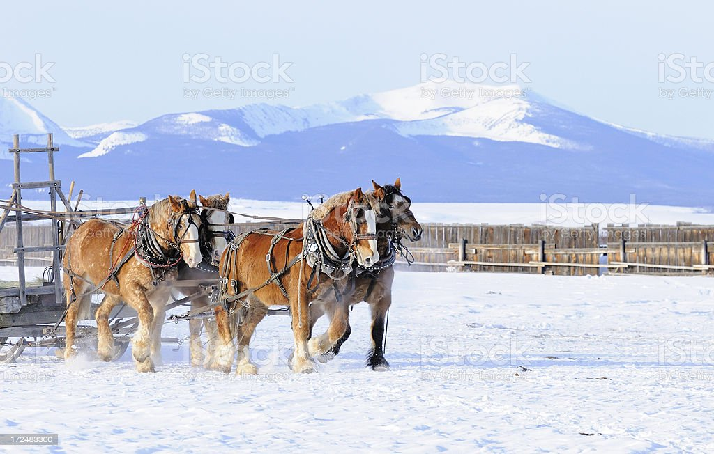 Four Horse Hitch pulling Sled stock photo