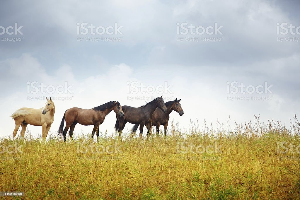 Four horses in the steppe stock photo