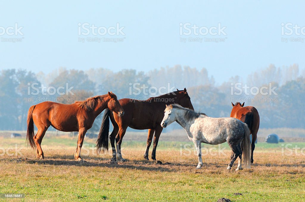 four horses on a meadow in Brandenburg (Germany) stock photo