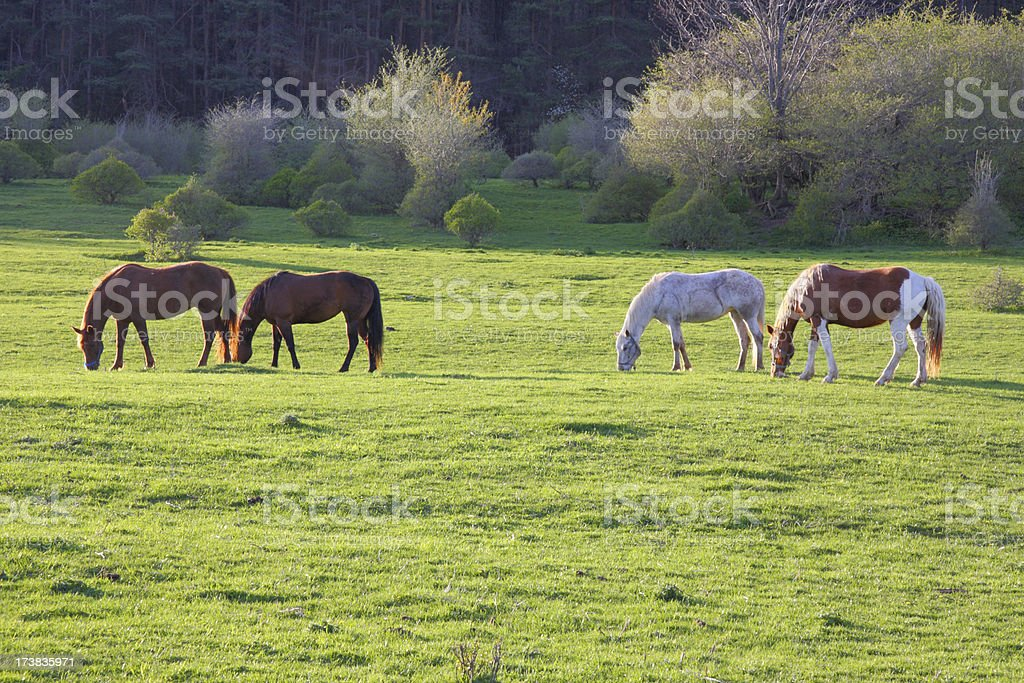 Four Horses on a Spring Afternoon royalty-free stock photo
