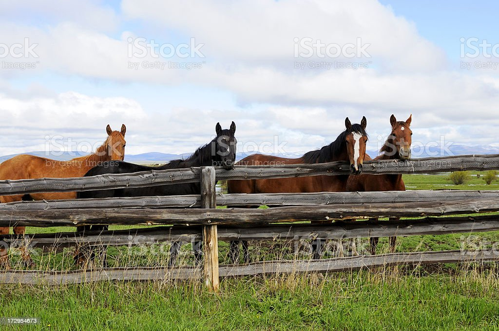 Four Horses stock photo