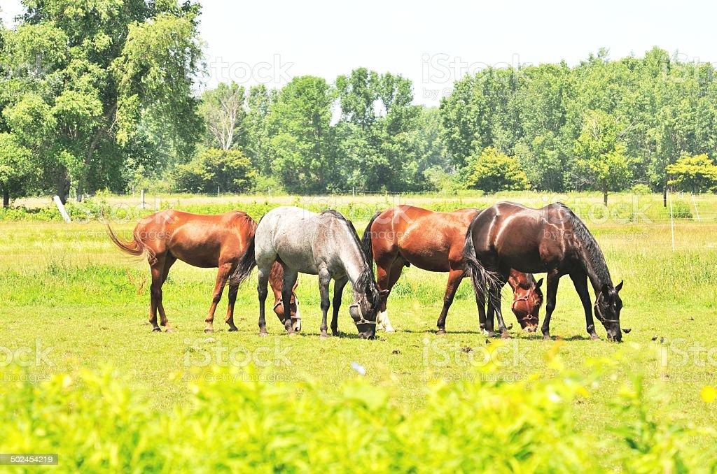 Four Horses stock photo