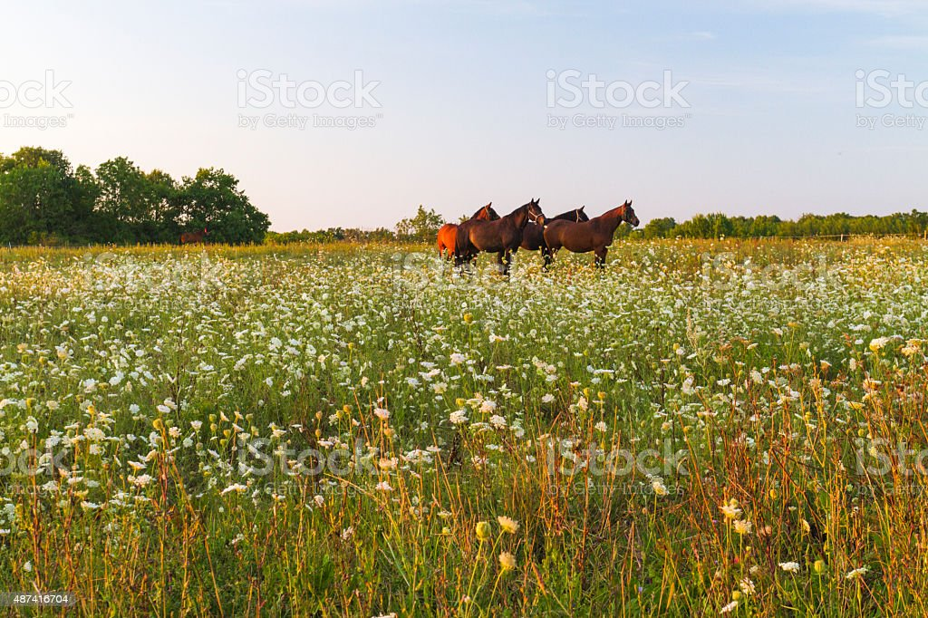 Four horses standing on a meadow in sunset stock photo