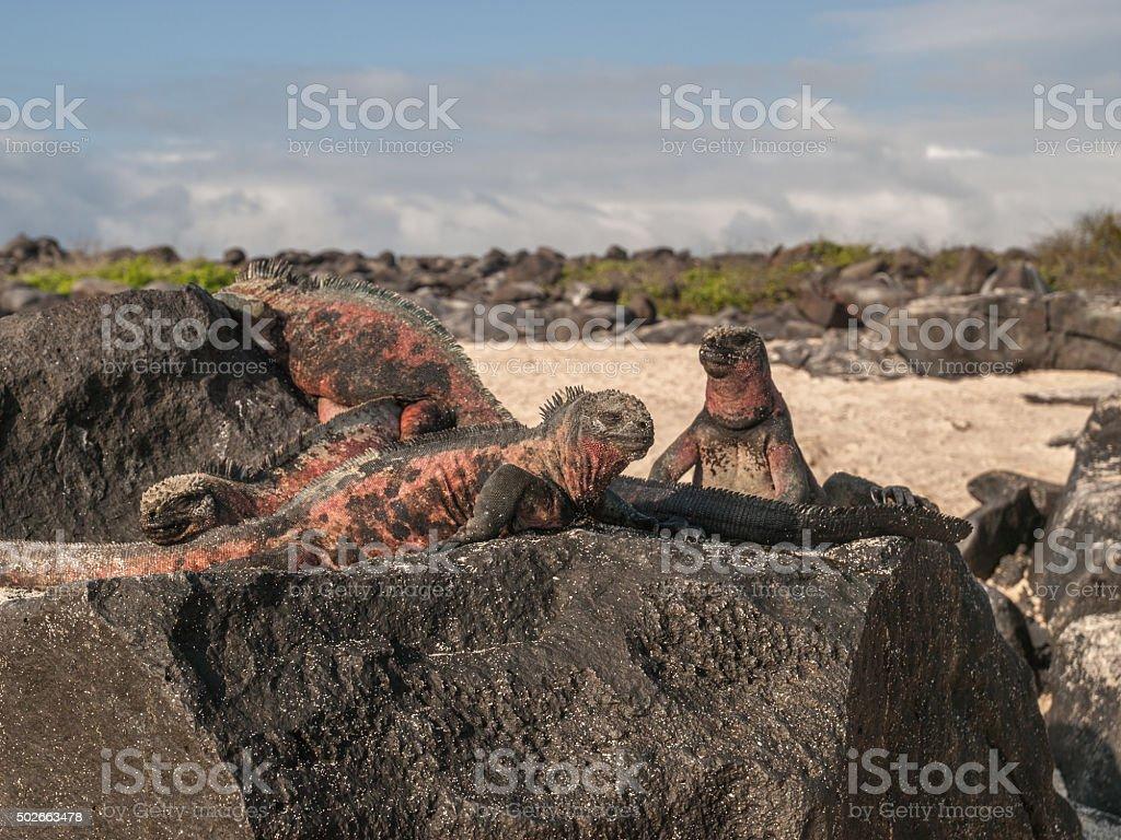 Four Iguanas stock photo