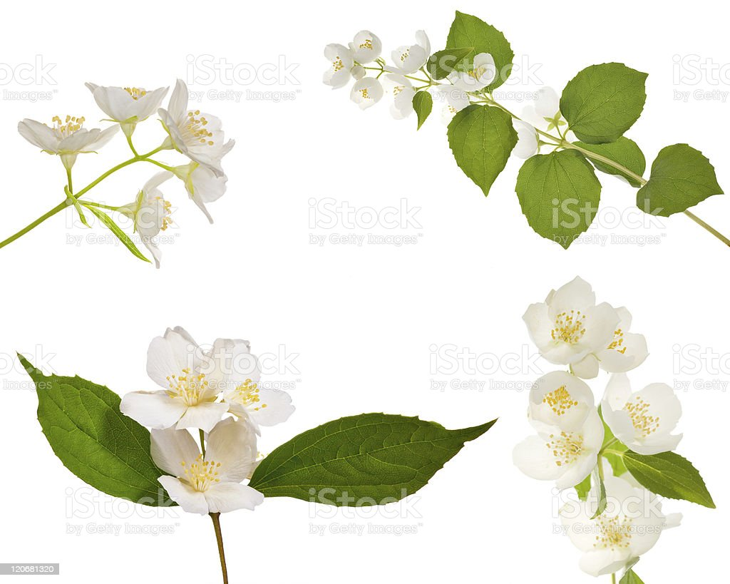 four jasmin branches with flowers stock photo
