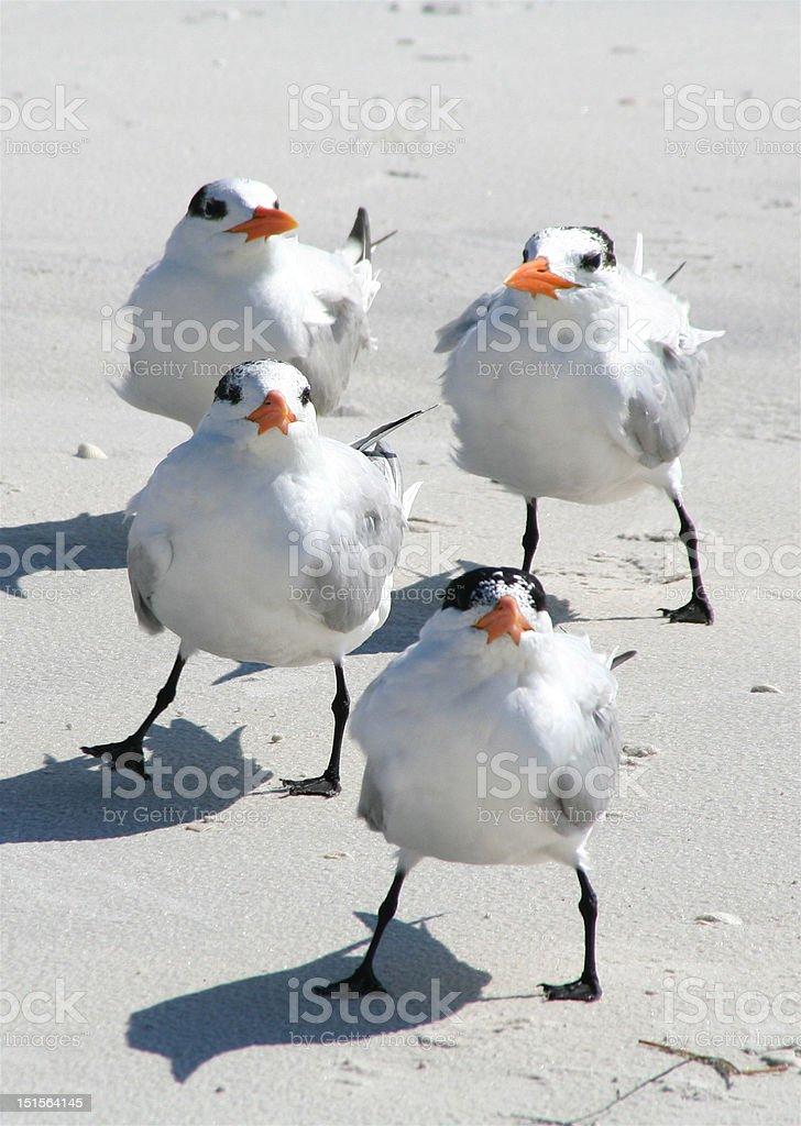 Four Juvenile Birds on the Beach royalty-free stock photo