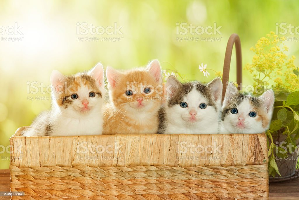 four kittens in a basket stock photo
