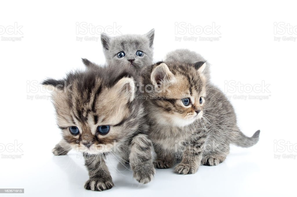 four kittens walking together royalty-free stock photo