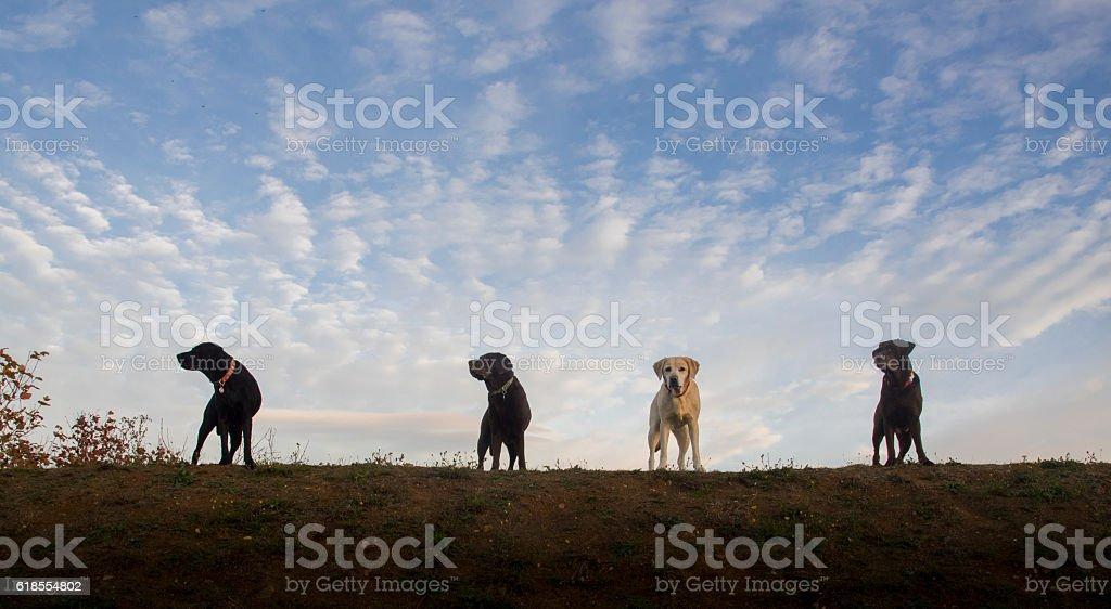 four labradors royalty-free stock photo