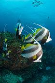 Four large longfin bannerfish